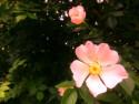 Tapeta Šípková růže 1
