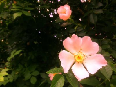 Tapeta: Šípková růže 1