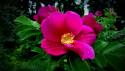 Tapeta šípková růže v květu