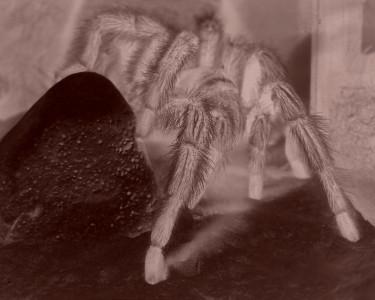 Tapeta: pavouk