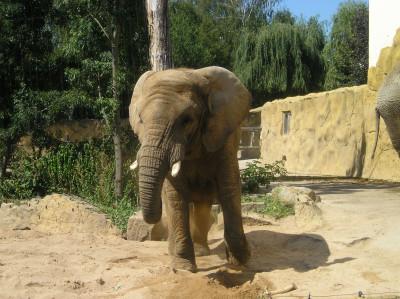 Tapeta: Slon zoo