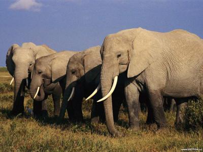 Tapeta: Sloníčci 5
