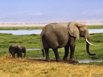 Tapeta: Sloníčci 6
