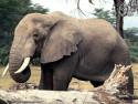 Tapeta Sloníčci 7