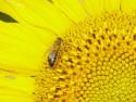 Tapeta slunečnice a včela