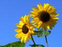 Tapeta Slunečnice v létě