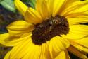Tapeta slunečnice včela
