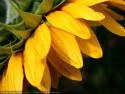 Tapeta Slunečnice od Gaia Dream Creation