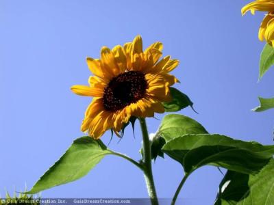 Tapeta: Slunečnice od Gaia Dream Creation 2