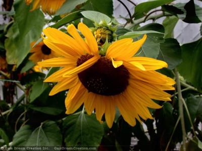 Tapeta: Slunečnice od Gaia Dream Creation 3