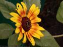 Tapeta Slunečnice od Gaia Dream Creation 4
