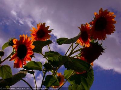 Tapeta: Slunečnice od Gaia Dream Creation 6