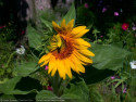 Tapeta Slunečnice od Gaia Dream Creation 7