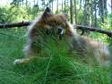 Tapeta Špic v trávě