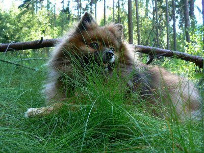 Tapeta: Špic v trávě