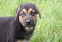 Tapeta štěně NO1