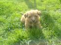 Tapeta štěně v trávě