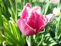 Tapeta Střapatý tulipán
