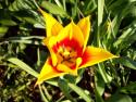 Tapeta Střed tulipánu