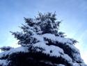 Tapeta stříbrný smrk pod sněhem