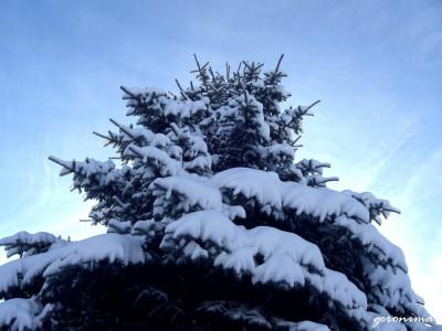 Tapeta: stříbrný smrk pod sněhem