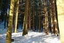 Tapeta stromy v zimnim lese