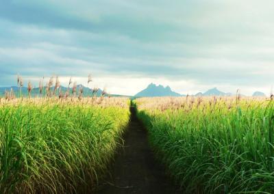 Tapeta: Sugar Cane