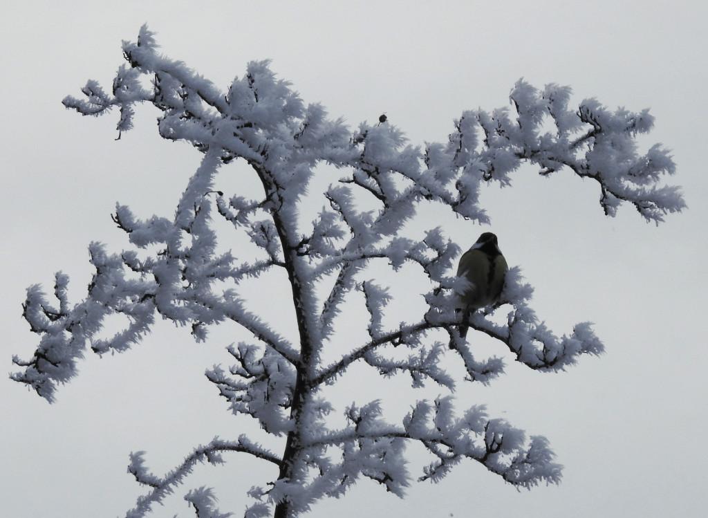 Tapeta sykorka_v_zime