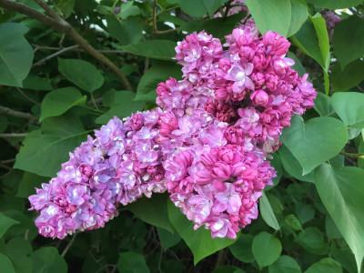 Tapeta: Syringa vulgaris - šeřík