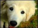 Tapeta The white  Dog
