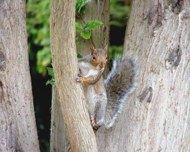 Tapeta: The Hyperactive Squirrel