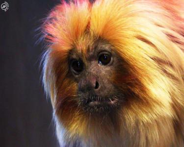 Tapeta: The Sad Monkey