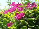 Tapeta Tmavě růžový clematis