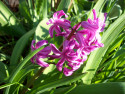 Tapeta Tmavěrůžový hyacint