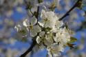 Tapeta Třešňový květ2