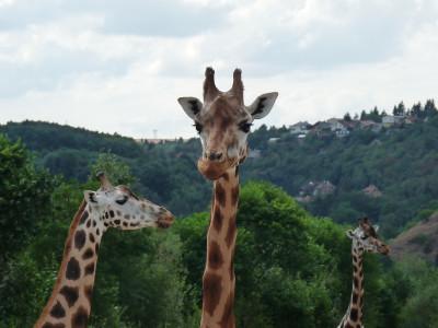 Tapeta: Tři žirafi