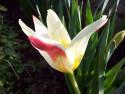 Tapeta Tříbarevný tulipán