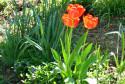 Tapeta Troíjice rudých tulipánů