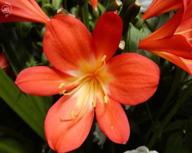 Tapeta: Tropical Flower