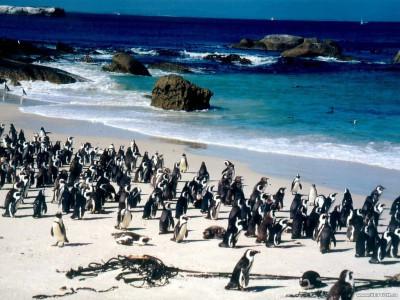 Tapeta: Tučňáci 4
