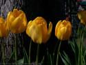 Tapeta Tulipán