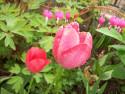 Tapeta Tulipán po dešti