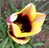 Tapeta Tulipán s tmavým středem