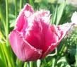 Tapeta Tulipán střapatý