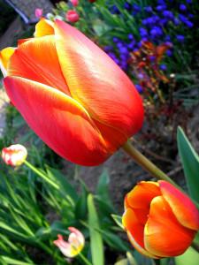 Tapeta: Tulipán