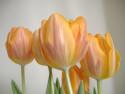 Tapeta tulipánečky