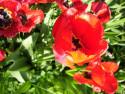 Tapeta Tulipány12