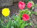 Tapeta Tulipány 1