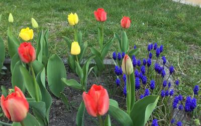 Tapeta: Tulipány a modřenec