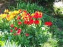 Tapeta Tulipány na zahradě
